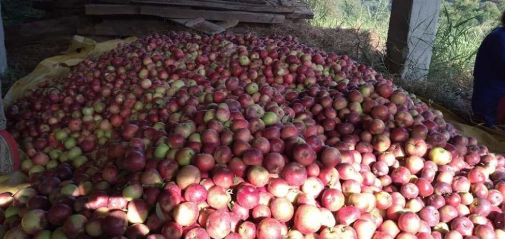 स्कैब ग्रस्त सेब को भी MIS के तहत खरीदे सरकार: कांग्रेस