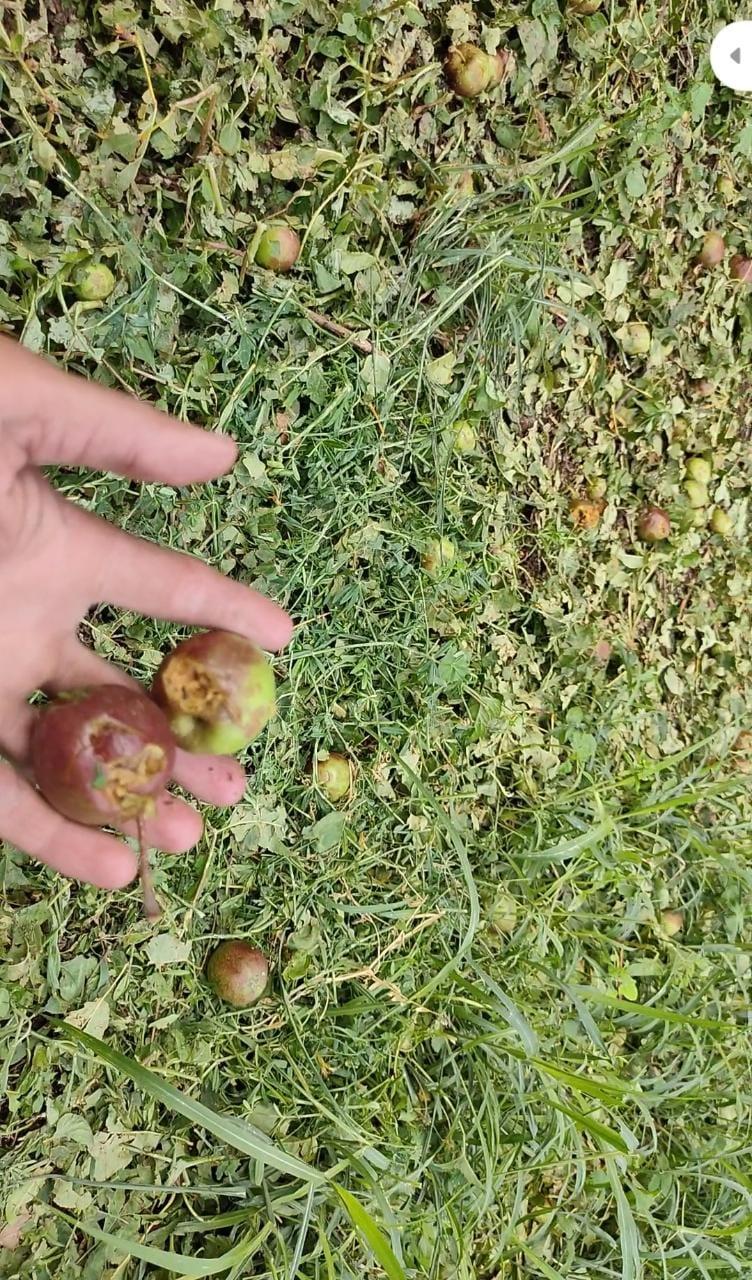 ओलावृष्टि ने तोडी मंडी के किसान बागवानों की कमर, सेब, आलु, गोभी, पत्तागोभी, प्लम की फसल तबाह