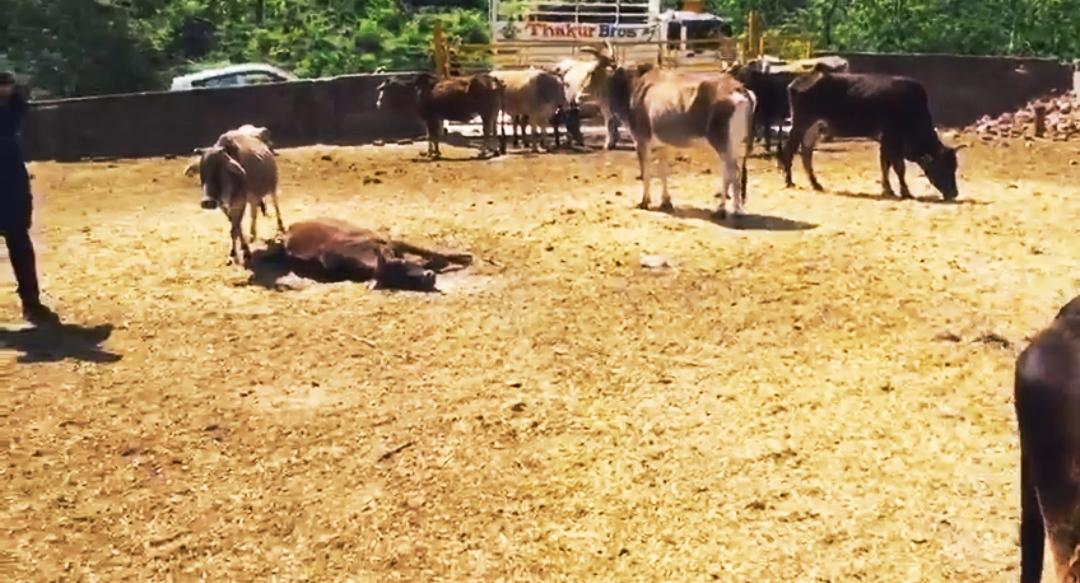 बिलासपुर के बरमाणा स्थित गौ सदन भवन लघट में भूख प्यास से तड़प रही गाय, व्यवस्था की पोल खोलती वीडियो वायरल