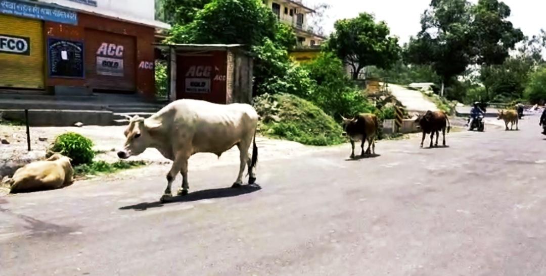 घुमारवी में आवारा बैल के हमले से पूर्व सैनिक की मौत, गौशाला में केवल गाय फिर बैलों का रखवाला कौन..?
