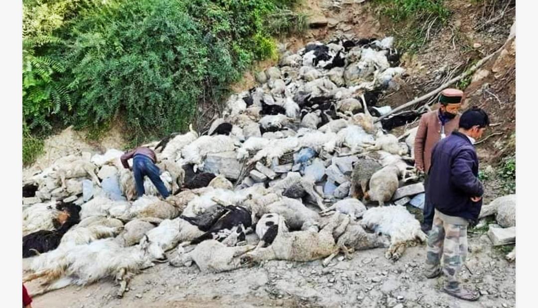 दुःखद- रोहड़ू की बडोट-मंडल सड़क पर ऊंचे ढांक से गिरकर 442 भेड़ों की मौत